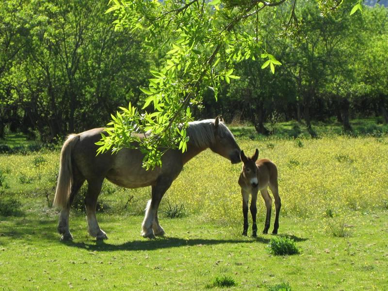Spanish Breed Horses